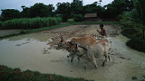 A man employs two oxen to plough a rice field in Cambodia. - Photo: Flickr/World Bank